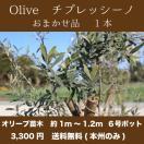 【送料無料(本州・四国のみ)】1本 オリーブの木 樹高1m~1.2m前後 チプレッシーノ