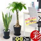 送料無料 観葉植物 8号+6号セット セラアート鉢 ブラックポット パキラ ウンベラータ 幸福の木 ドラセナ 通販 父の日