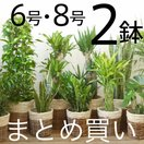 観葉植物 選べる2サイズ、人気のまとめ買い! 8号+6号鉢 鉢カバーセット パキラ モンステラ 幸福の木 室内用大型