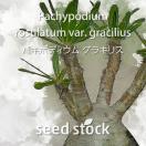 パキポディウムの種子 グラキリス Pachypod...