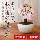 (桜盆栽)旭山桜 盆栽(送料無料)(桜 ミ...