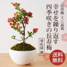 長寿梅(包装不可・同梱不可)(送料無料)(敬老の日 敬老 お祝い 内祝い お返し お礼 盆栽 梅盆栽 ぼんさい)*bonsai_031*