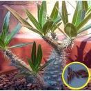 パキポディウム象牙宮(Pachypodium Rosula...