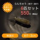 らんちゅう(青仔〜黒仔)6匹