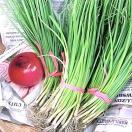 野菜の苗 緋だまり・赤タマネギ 玉葱 玉ねぎ 50本入