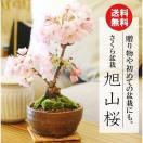 ミニ盆栽:一才桜盆栽(信楽焼小鉢)*