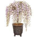 盆栽:特選極太一才藤(瀬戸焼志野釉ちぎり鉢)*4月に開花