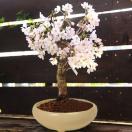 桜盆栽:特選吉野桜(大)(よしのさくら)*