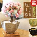 桜盆栽 鉢色選べる:ミニ一才桜*(信楽花型小鉢)