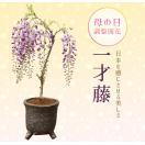 盆栽:母の日開花一才藤(瀬戸焼志野釉ちぎり鉢)*
