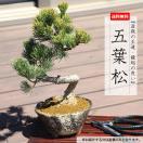 即日出荷可 父の日ギフト 小品盆栽:五葉松(瀬戸焼変形鉢)*