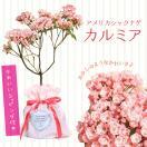 鉢花:カルミア*アメリカシャクナゲ*品種選べます