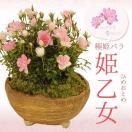 母の日ギフト ミニ盆栽:極姫ばら  姫乙女(信楽焼小鉢)*