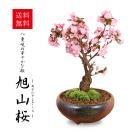盆栽:一才桜(大・瀬戸焼鉢)*