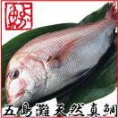 お歳暮 御歳暮 ギフト 長崎産天然真鯛 (釣りもの一級品・活もの) 1.2kg前後 1尾・2〜3人前