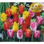 チューリップお徳用 変り咲 フリンジ咲混合 20球 花の大和