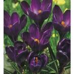 漆黒のクロッカス クリスタルブラック(ネグロボーイ) 7球 花の大和