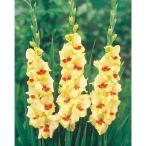 二色咲きグラジオラス 黄に赤花種 6球