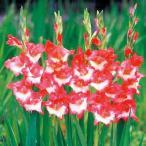 二色咲きグラジオラス 赤に白花種 6球