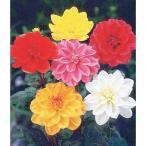 ダリア3色3球 中輪咲き種(3色) 3球