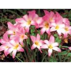 毎年花が咲く球根 ハブランサス ロブスター 10球