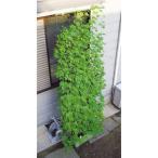 緑のカーテン吊り下げタイプ 幅80cm×高さ3m ホームセンター