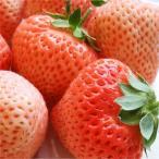 『桃薫(とうくん)イチゴ苗 4個セット』桃のような香りのイチゴ♪