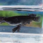 (メダカ) オロチめだか 3匹セット / 黒 ブラック パンダ メダカ 淡水魚
