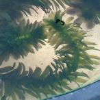 (水草) アナカリス 5本セット / 金魚藻 水草 水槽 鉢 メダカ