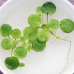 (水草) アマゾンフロッグビット 10株セット アマゾントチカガミ 水草 浮草 鉢 メダカ