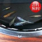 (メダカ) めだか おまかせ 虹色ラメめだかミックス 未選別 稚魚(SS〜Sサイズ) 10匹セット / ミックス 虹色ラメ メダカ 淡水魚