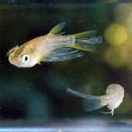 (メダカ) 黄金ヒレ長スワローめだか 未選別 稚魚(SS〜Sサイズ) 10匹セット / 金 ひれ長 スワロー メダカ 淡水魚