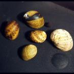 (貝) カラー石巻貝 3匹 / コケ取り アクアリウム 淡水魚
