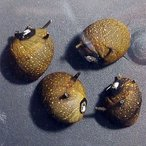 (貝) サザエ石巻貝 5匹 / コケ取り アクアリウム 淡水魚
