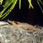 (エビ) ミナミヌマエビ 10匹 / シュリンプ アクアリウム 熱帯魚