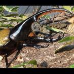 (昆虫) ヘラクレスオオカブト 成虫  ♂ 127mm ヘラクレス・ヘラクレス カブトムシ 昆虫