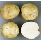 男爵芋(馬鈴薯)春作ジャガイモ種芋 1kg
