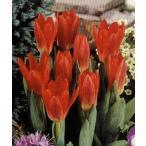 早咲きミニチューリップ球根 スカーレトベイビー (カウフマニアナ咲き) 12/+cm 赤 14入り