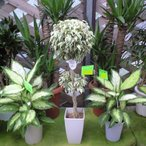 観葉植物 斑入り ベンジャミン (シダレガジュマル) お届先本州、四国、九州