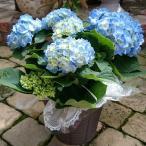 ショッピングアジサイ 母の日 花 アジサイ ブルー マリ咲き