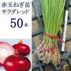(苗)サラダレッド   50本 赤タマネギ苗