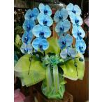 青い胡蝶蘭 ブルーエレガンス 2本立ち 大輪 (受注後購入)