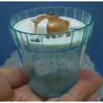 クロッカス 水栽培用ポット プラスチック 球根対応数1球