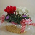ショッピング鉢 (贈答用) シクラメン 5号 紅白 籠入り(寄鉢) (鉢花ギフト)