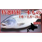 希少な鮭!特選時鮭(1本物・約1.8〜2.0kg・冷凍・化粧箱入・時サケ)