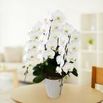 大輪胡蝶蘭 3本立30輪(つぼみ含む) 白