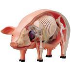 豚 解剖 人形 模型 おもちゃ キット 透明 クリア フィ