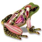 カエル 解剖 人形 模型 おもちゃ キット 透明 クリア