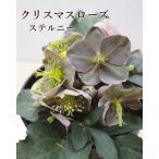 クリスマスローズ ミヨシ M&BFlora 9cmポット 7種 厳選