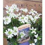 イベリス ブライダルブーケ キャンディタフト ポット 宿根草 ガーデニング 寄せ植え 2.5号ポリポット 草花